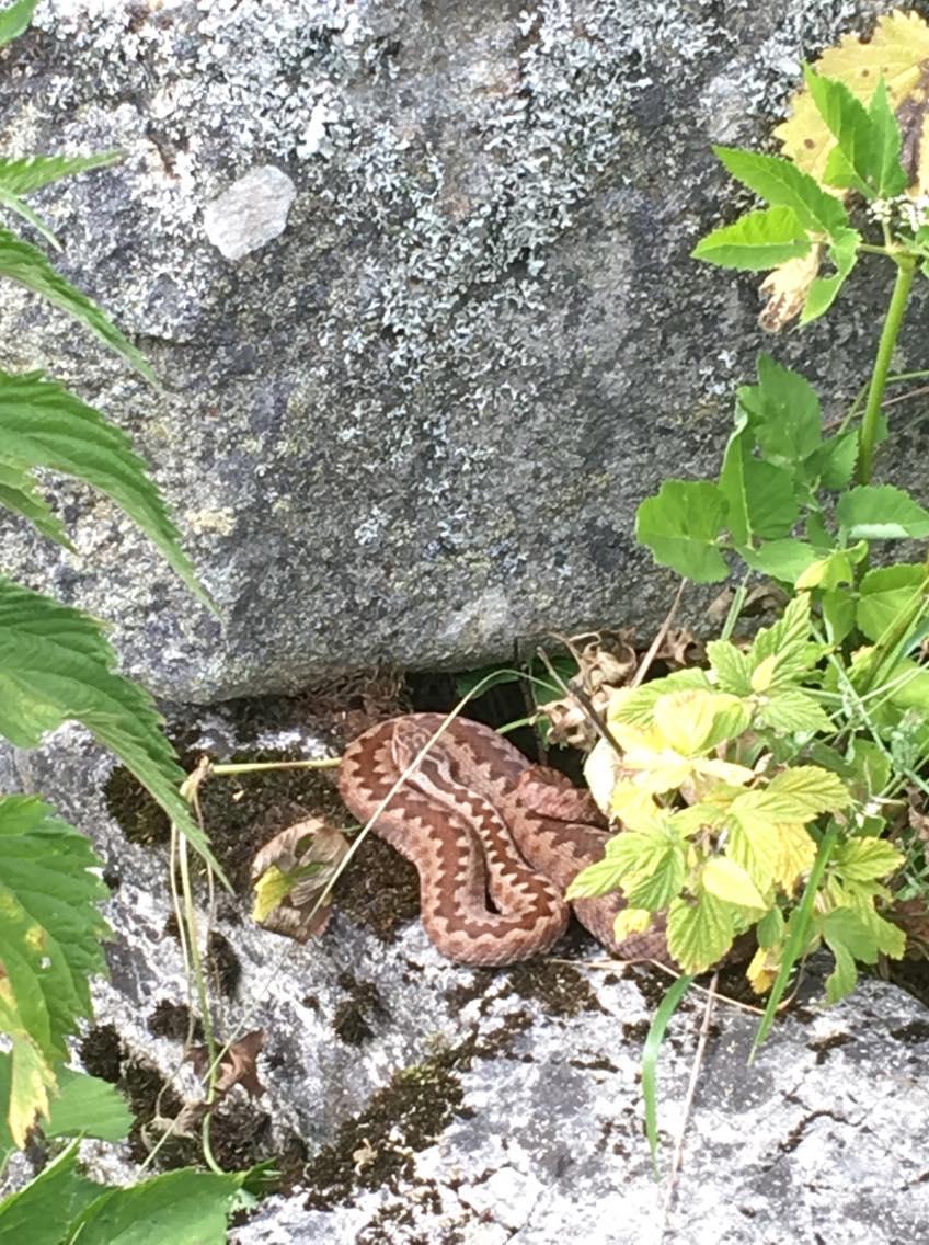 34 Často spozorovatelná zmije obecná. Kriticky ohrožený druh. Tady se jí daří